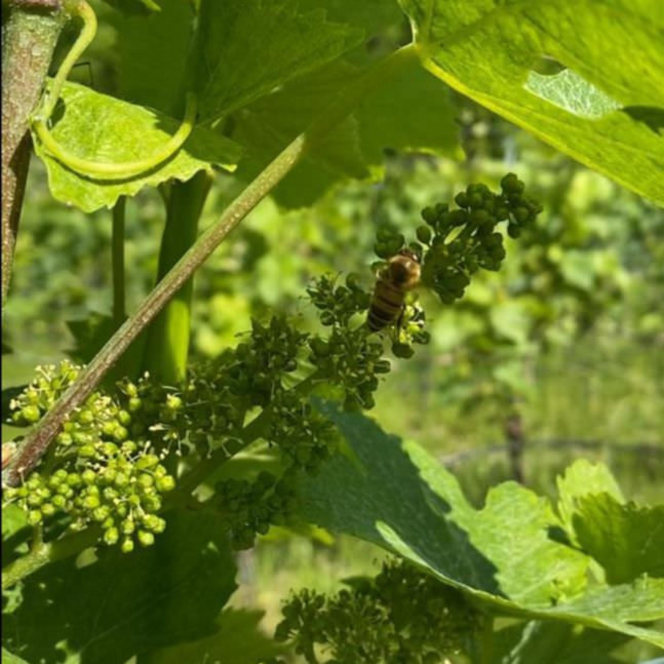 Nicola, il vino e la vigna #2
